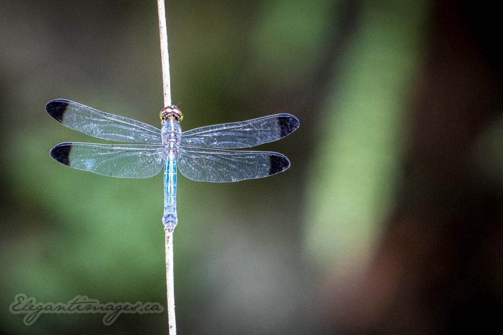 Gunung Mulu National Park-Dragon Fly