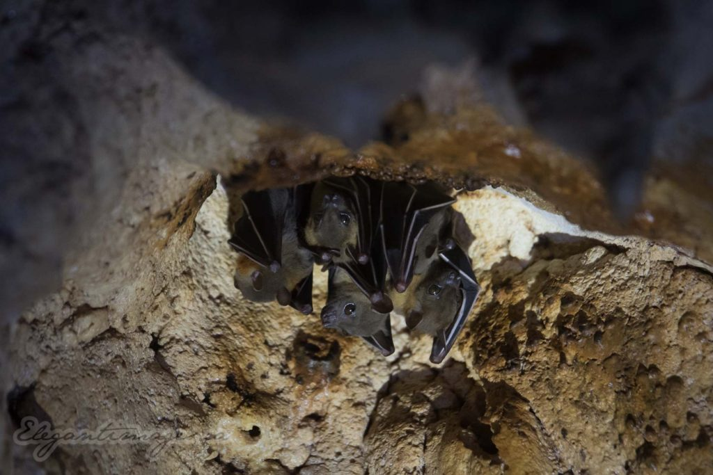 Gunung Mulu National Park-Bats hanging from cave ceiling