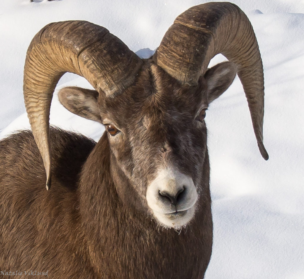 Ram, big horn sheep