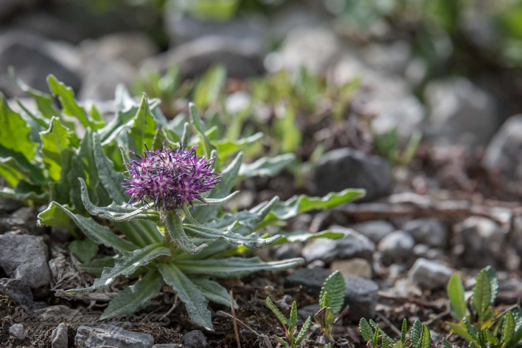 Wildflower at Rae Glacier