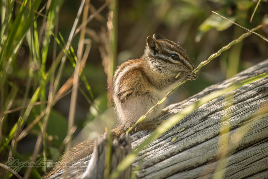 Eagle Lake Hike-Chipmunk