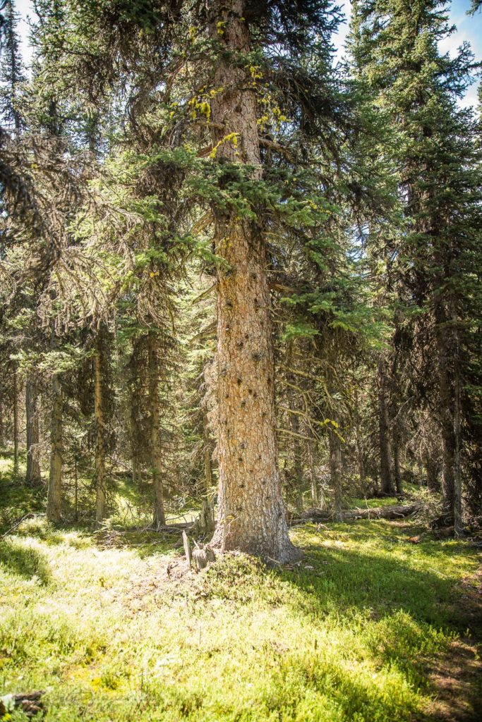 North Buller Pass-Thick trees