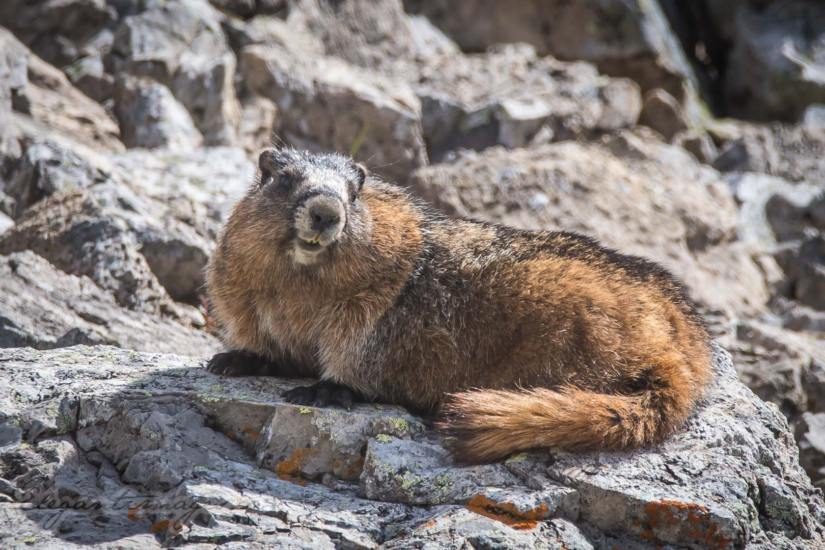 North Buller Pass Hoary Marmot