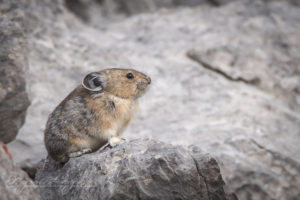Pika on top of mountain
