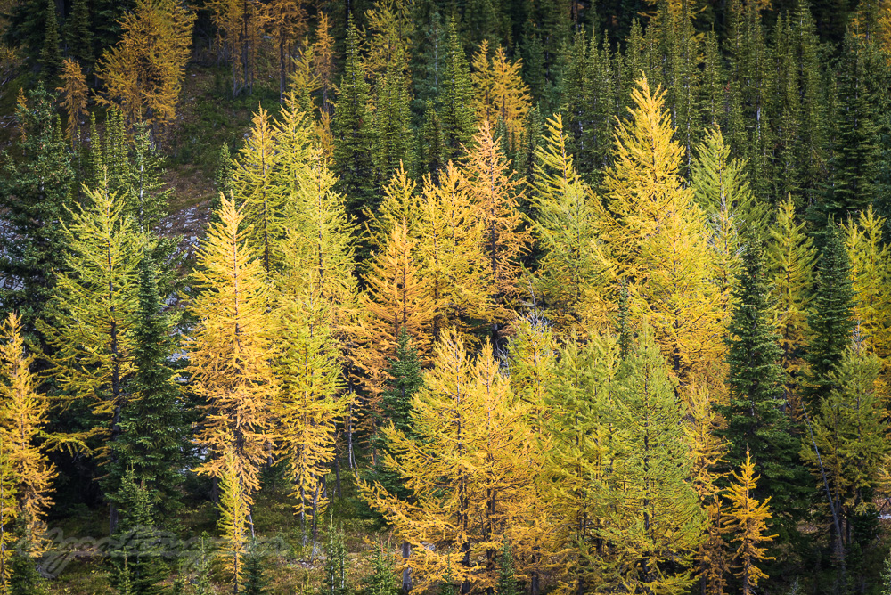 Larch changing colours top of burstall pass