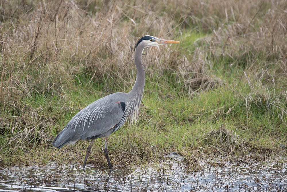 Blue heron in mud