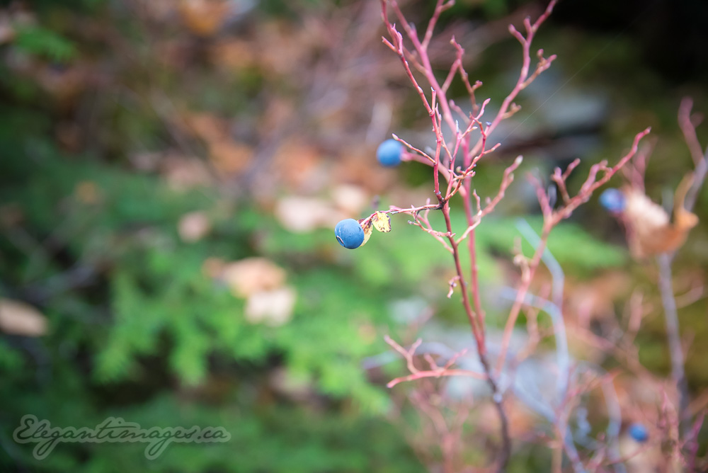 Huckleberries in the fall