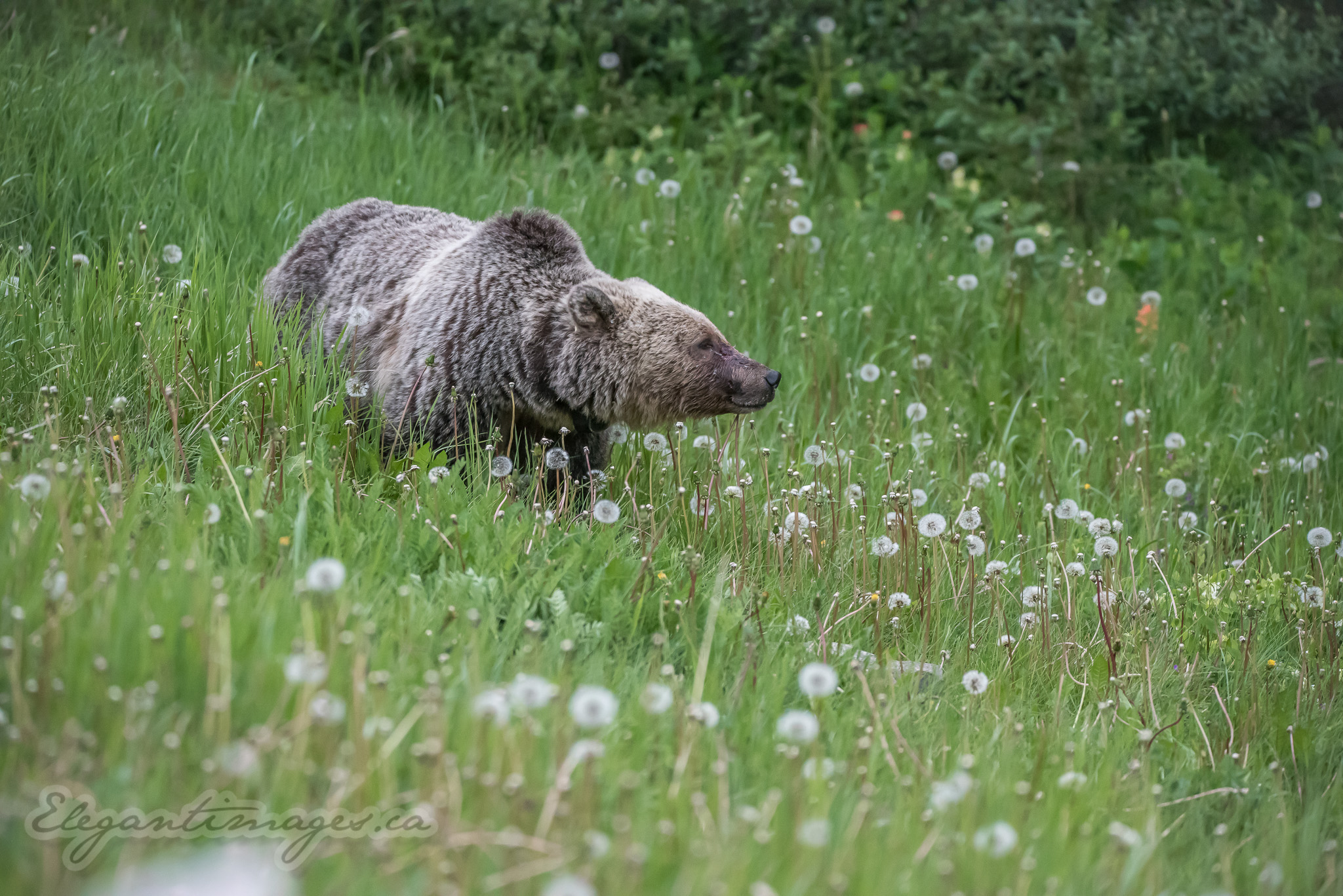 Grizzly Bear in green field